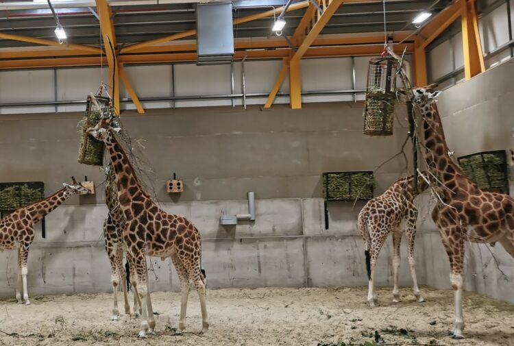 Glenmorangie giraffes at Edinburgh Zoo