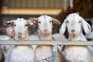 Meet the team behind the country's finest goat meat producer firm – Scottish Goat Meat Company