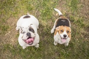 Bulldog and Beagle dog waiting for reward