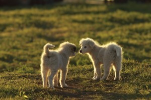 shepherd puppies playing in sunset light on meadow near the farm