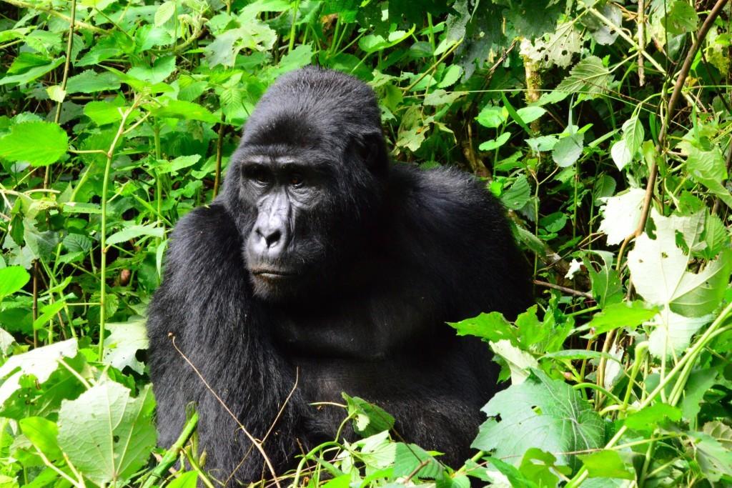 One of the gorillas