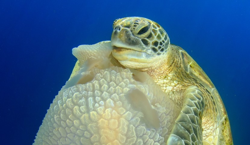 'Turtle eating Jellyfish' by Richard Carey from Thailand (Richard Carey)
