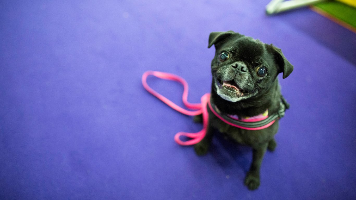 Maybelline, a 7-year-old Pug (AP Photo/Mary Altaffer)