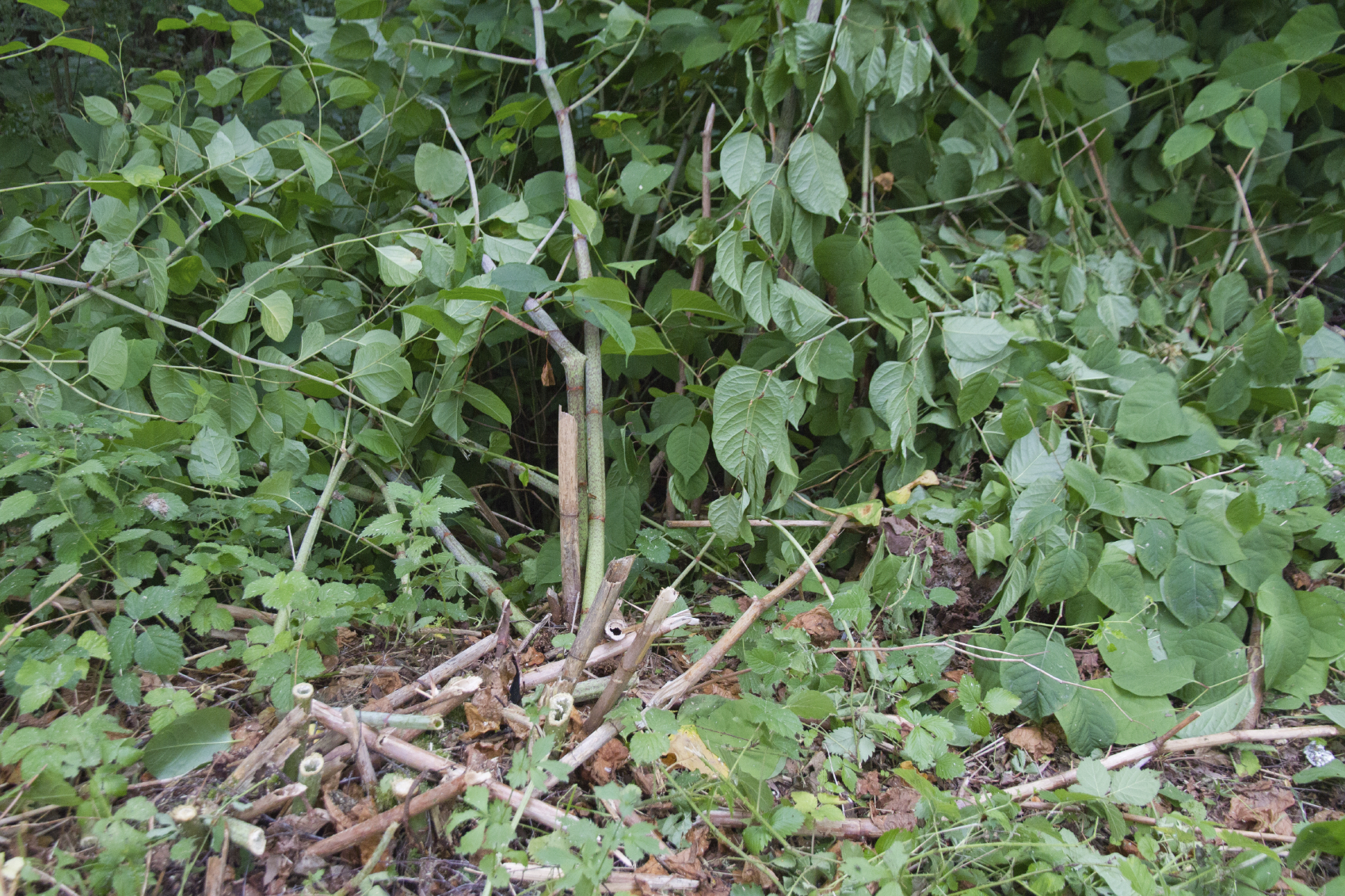 Japanese knotweed is extremely invasive and very difficult and costly to get rid of.