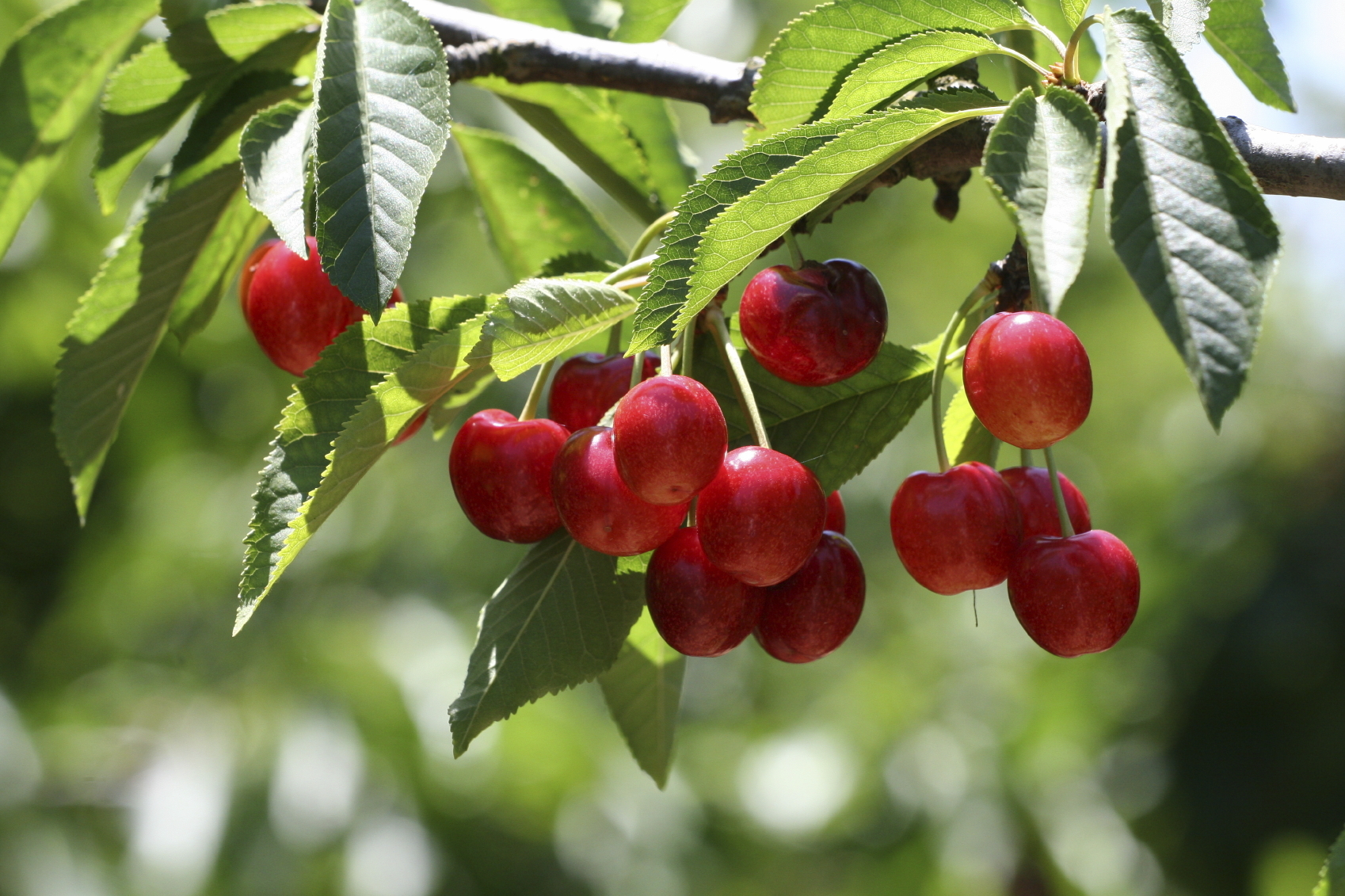 Cherry tree (Getty Images)