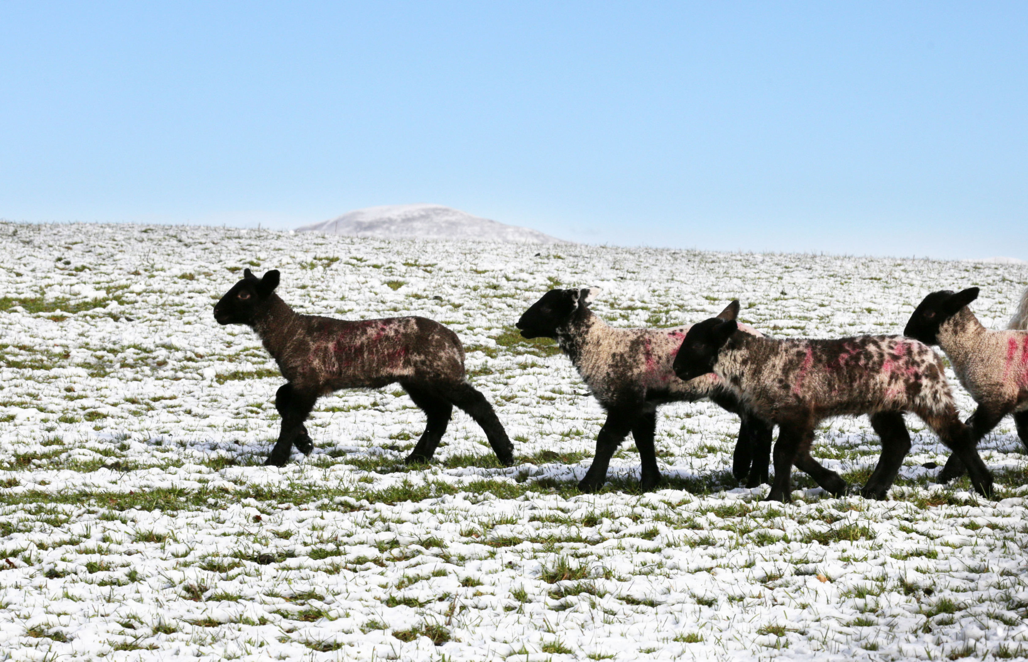 Sheep in the Borders have fun in the baa-rmy weather (David Cheskin/PA Wire)
