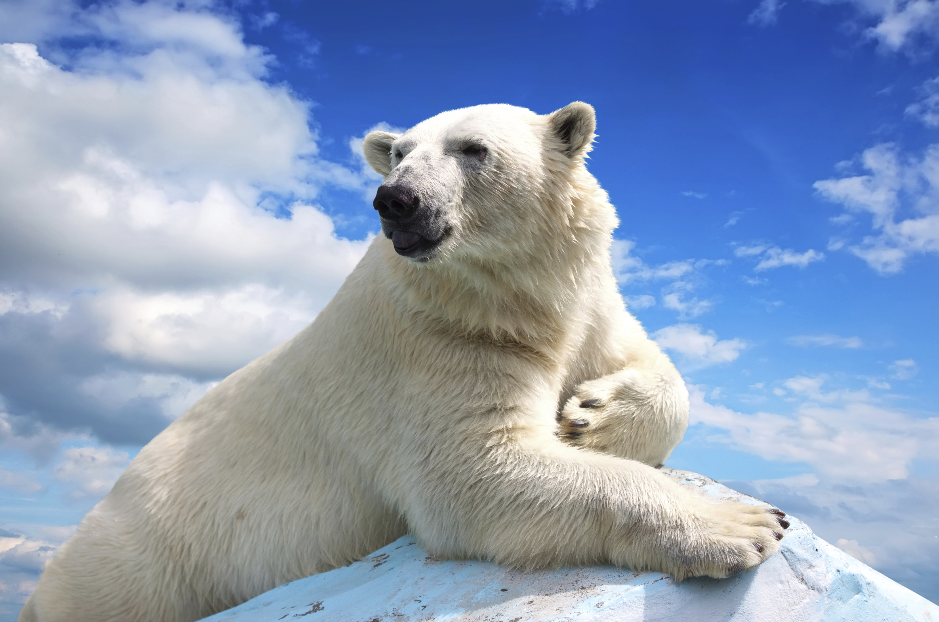 Polar bears are in peril (Iakov Filimonov)