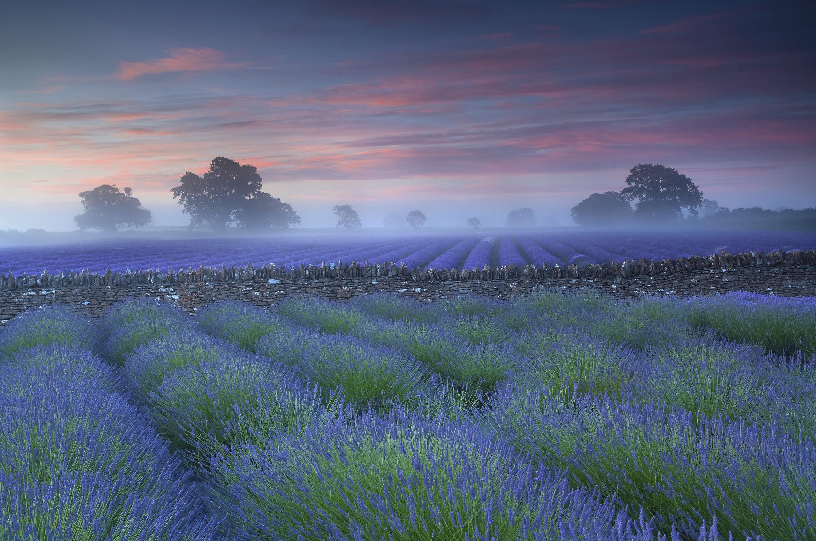 Lavender fields in Somerset (Antony Spencer)