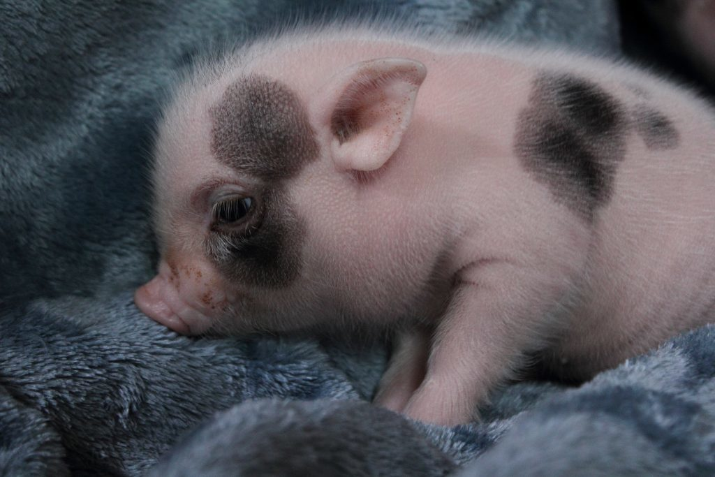 Piglet (Animal Planet)