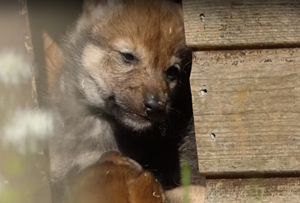 Camperdown Wildlife Centre's new wolf cubs were caught wrestling on camera by one of the keepers (Leisure & Culture Dundee / YouTube)