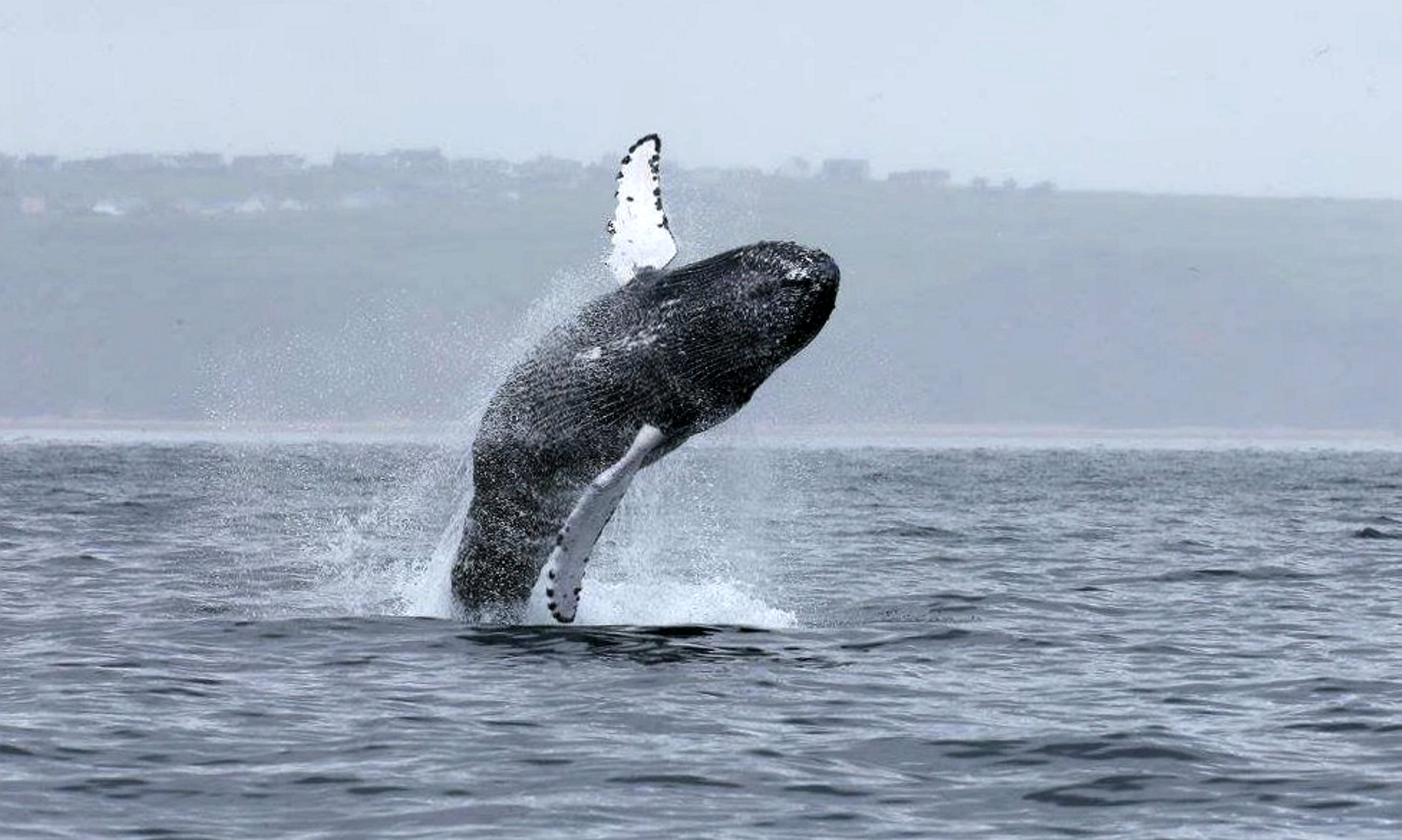 Humpback whales breaching near the Western Isles (Nick Davies / SWNS.com)