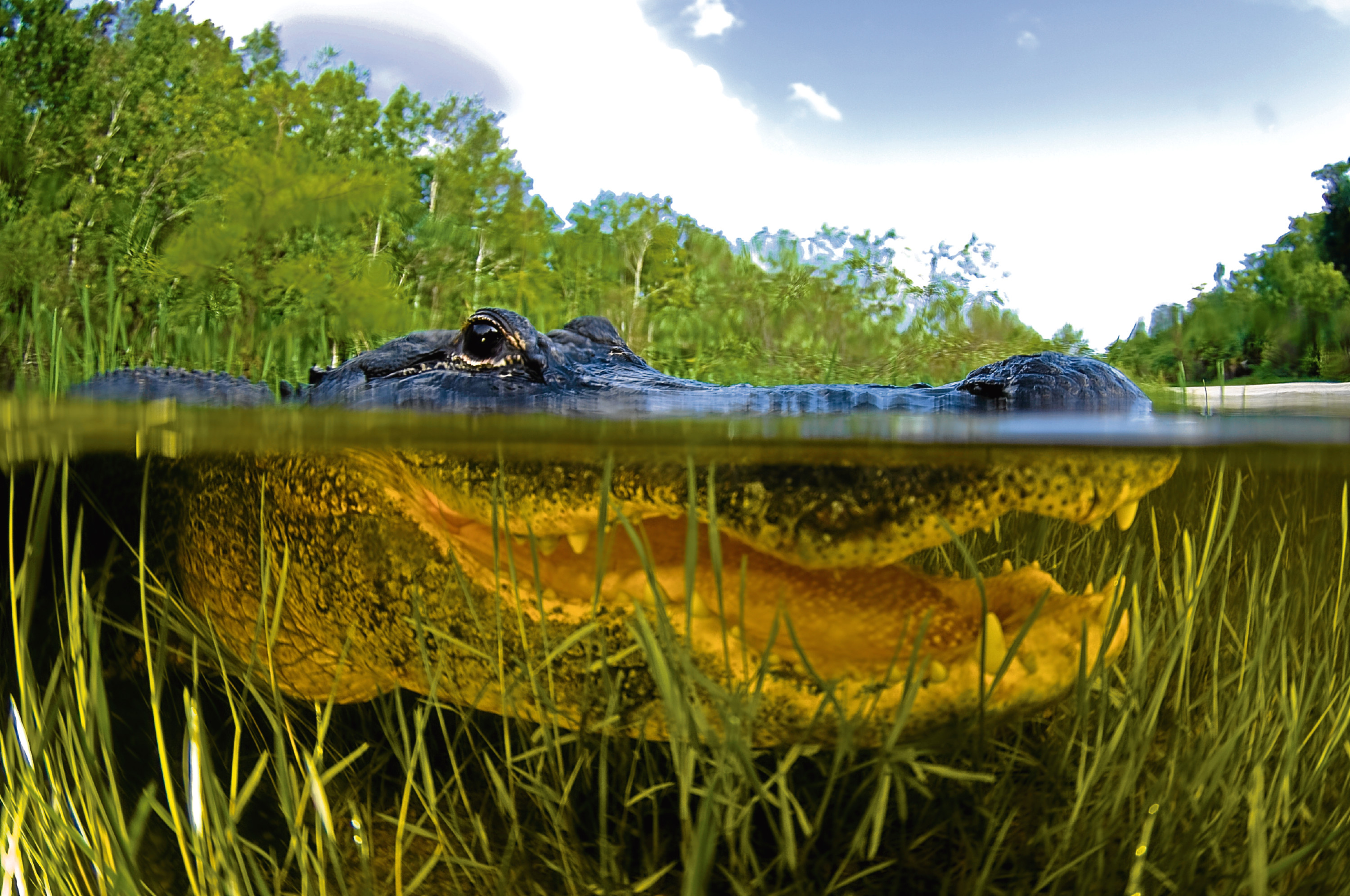 American Alligator (Getty Images)