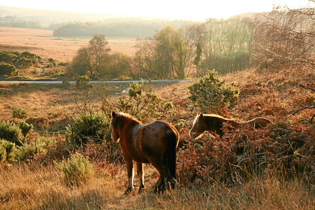 Two wild New Forest Ponies looking out at the landscape, Hampshire, England (Getty Images)