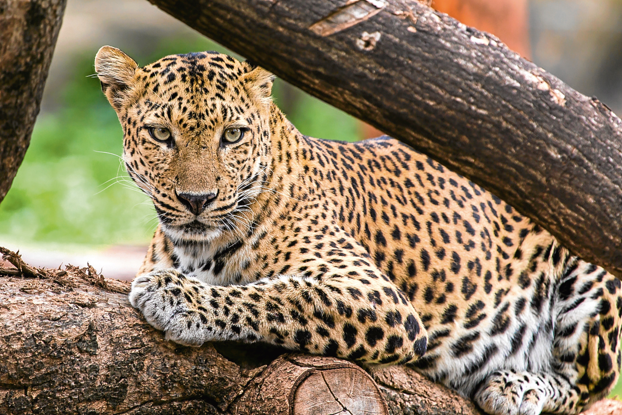 Leopard (Getty Images)