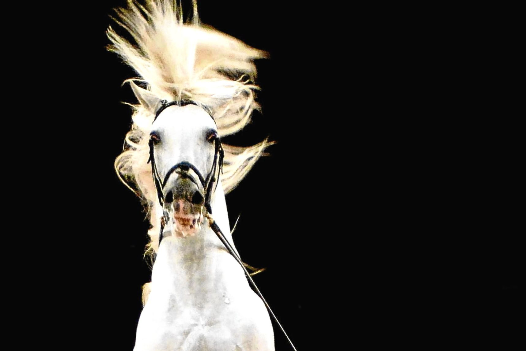 Lipizzaner Stallion Neopolitano Bonaira (PA)