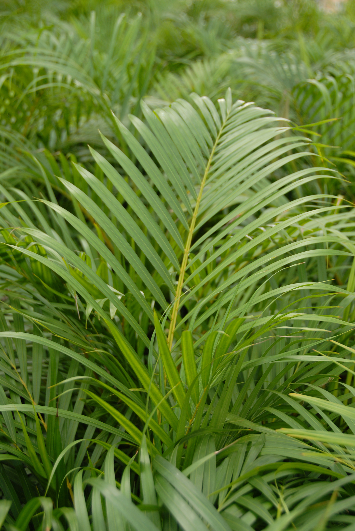 Areca palm, from £69.99 (Wyevale Garden Centres)