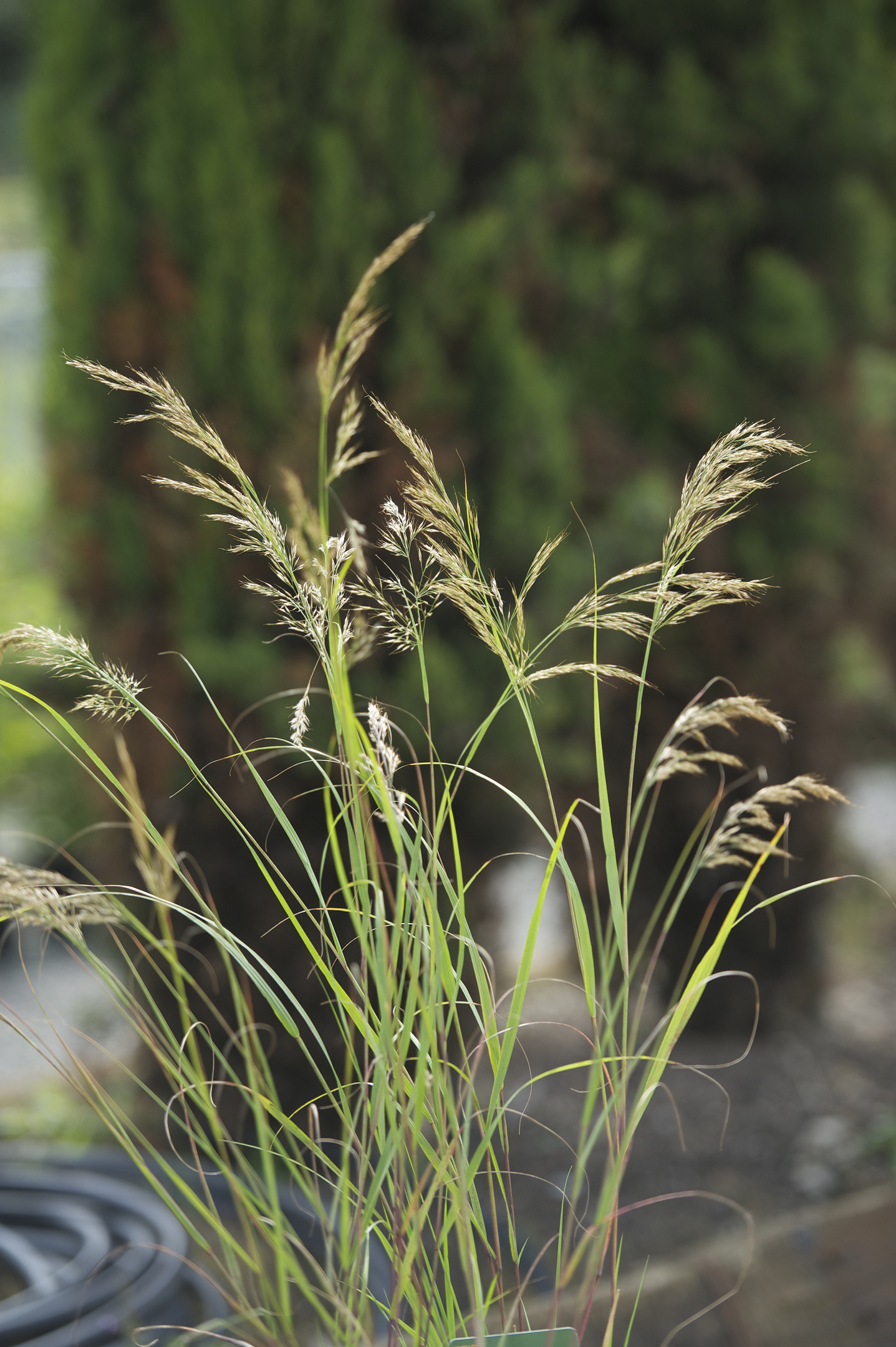 Stipa Tenuissima, from £8.99 (Wyevale Garden Centres)
