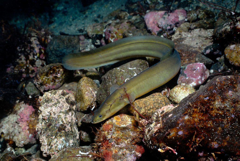 European eel (Erling Svensen/WWF/PA Wire)