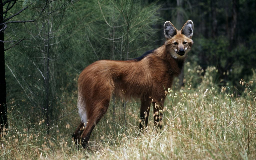 Maned wolf (Martin Harvey/WWF/PA Wire)
