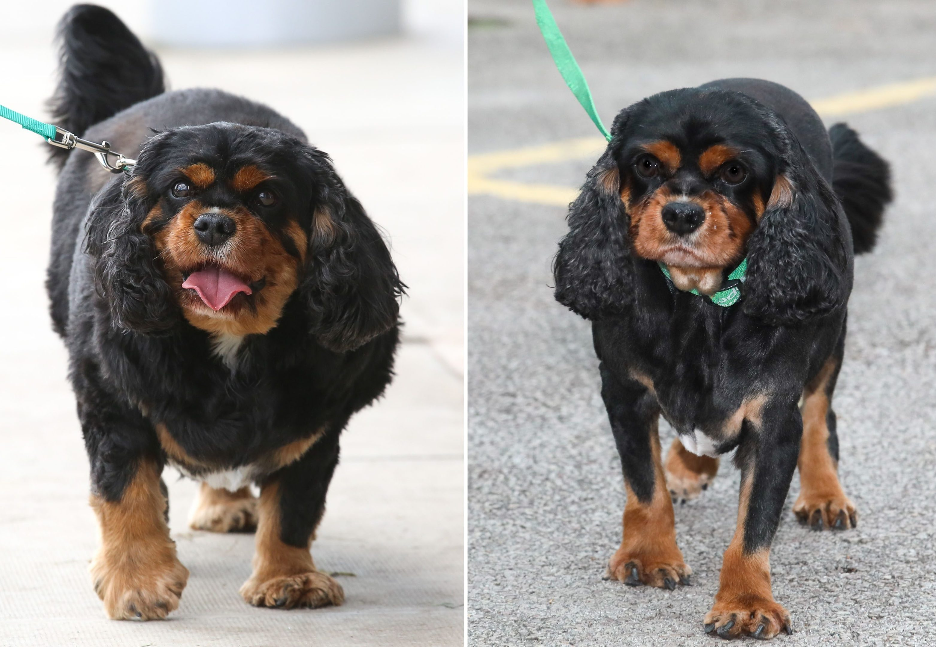 Oscar before and after he shed almost 40% of his bodyweight (Shaun Fellows/PDSA/PA Wire)