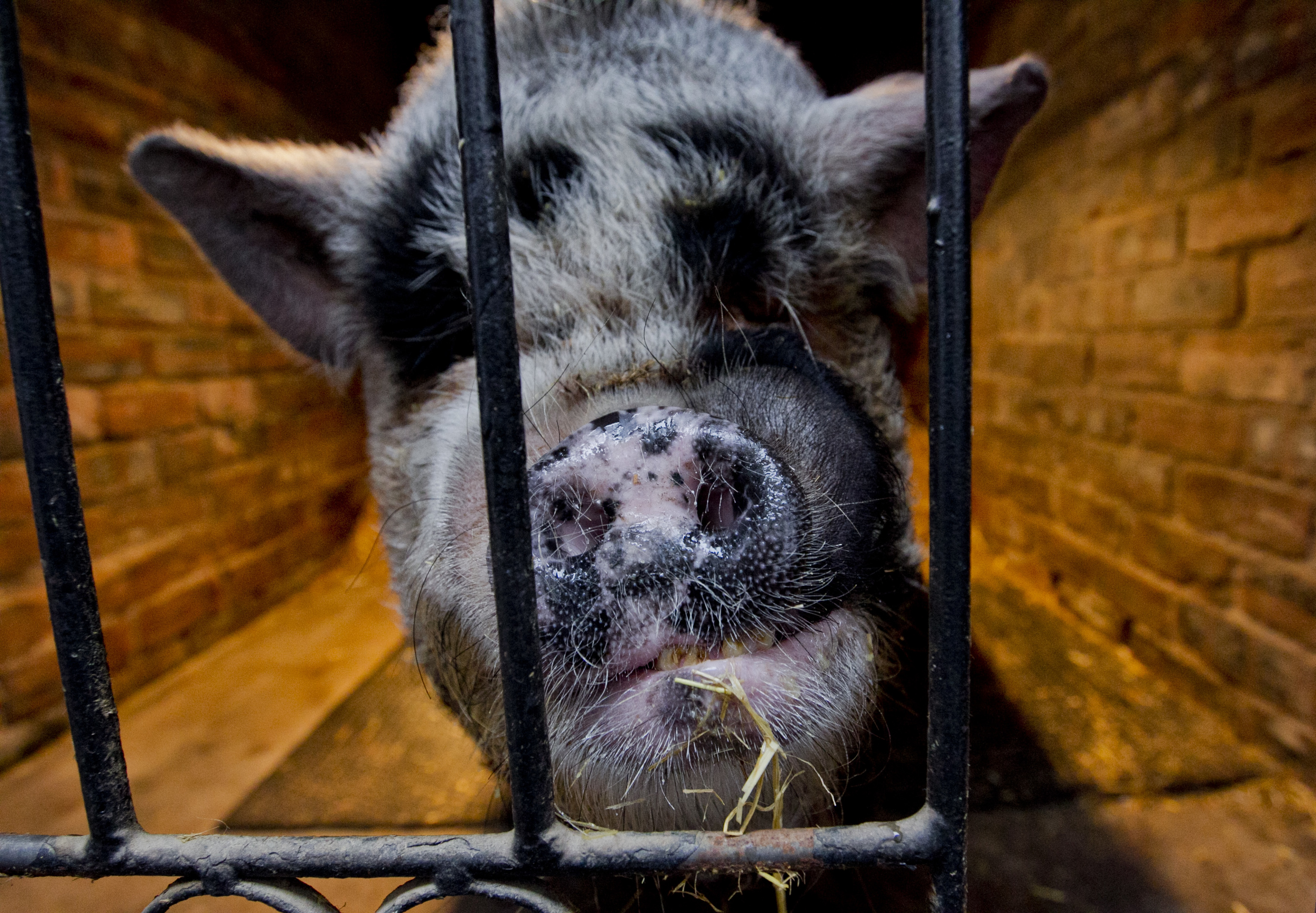 Scientists have given life to pigs four hours after they died.