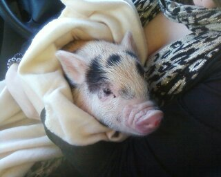 Dudley as a baby piglet
