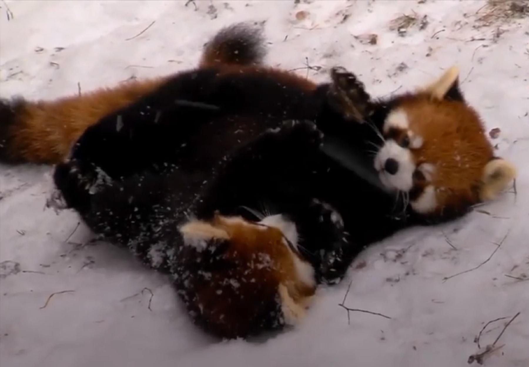 Red panda cubs (PA)