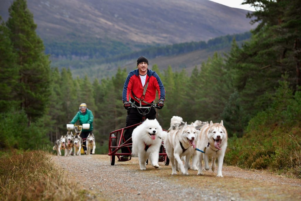 FESHIEBRIDGE, SCOTLAND - JANUARY 24: Mushers and their huskies practice at a forest course ahead of the Aviemore Sled Dog Rally on January 24, 2016 in Feshiebridge, Scotland. Huskies and sledders prepare ahead of the Siberian Husky Club of Great Britain 34th race taking place at Loch Morlich this weekend near Aviemore.Ê (Photo by Jeff J Mitchell/Getty Images)