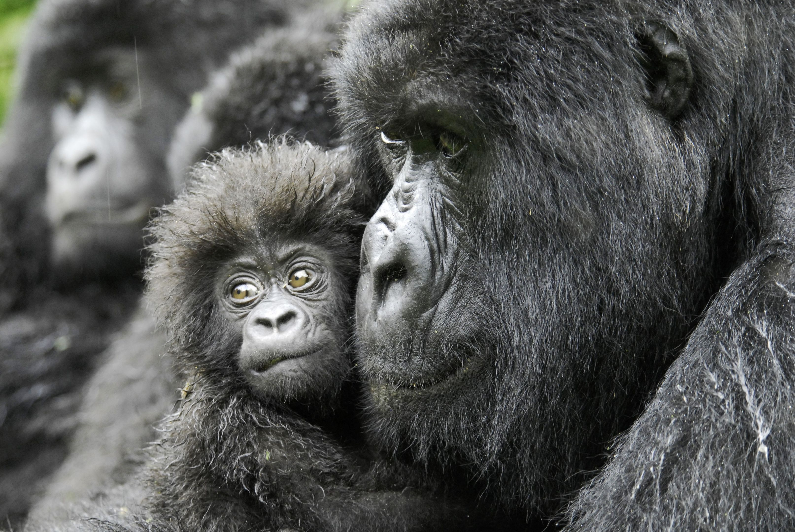 Female gorilla and a 4-month old baby named Kabila. (Russell A Mittermeier/Conservation International/PA Wire)