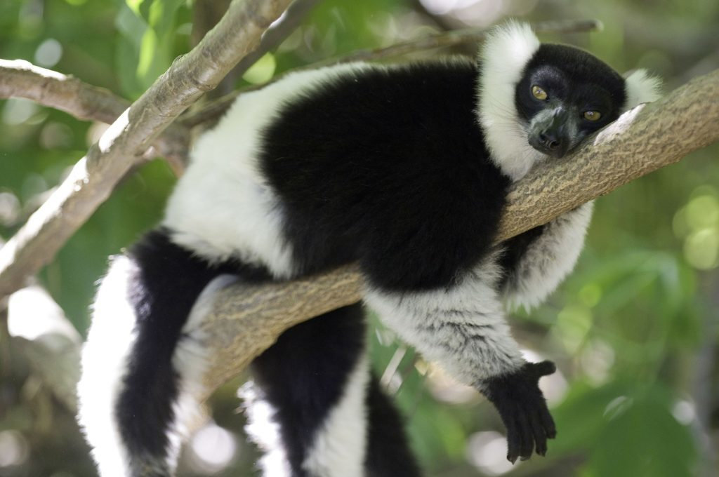 Black-and-white ruffed lemur in Madagascar. (Sterling Zumbrunn/Conservation International/PA Wire)