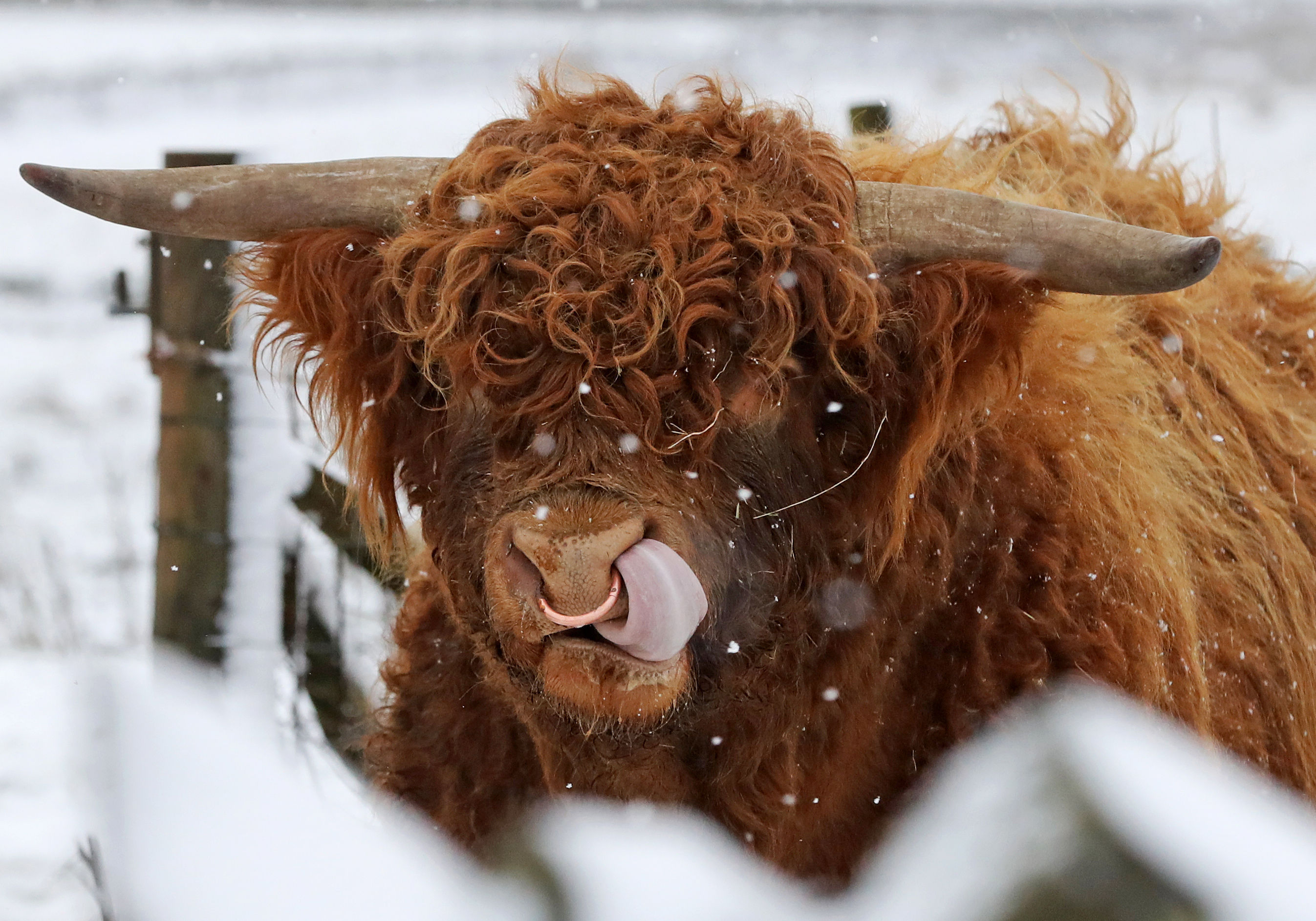 Highland cattle in the snow (Owen Humphreys/PA Wire)