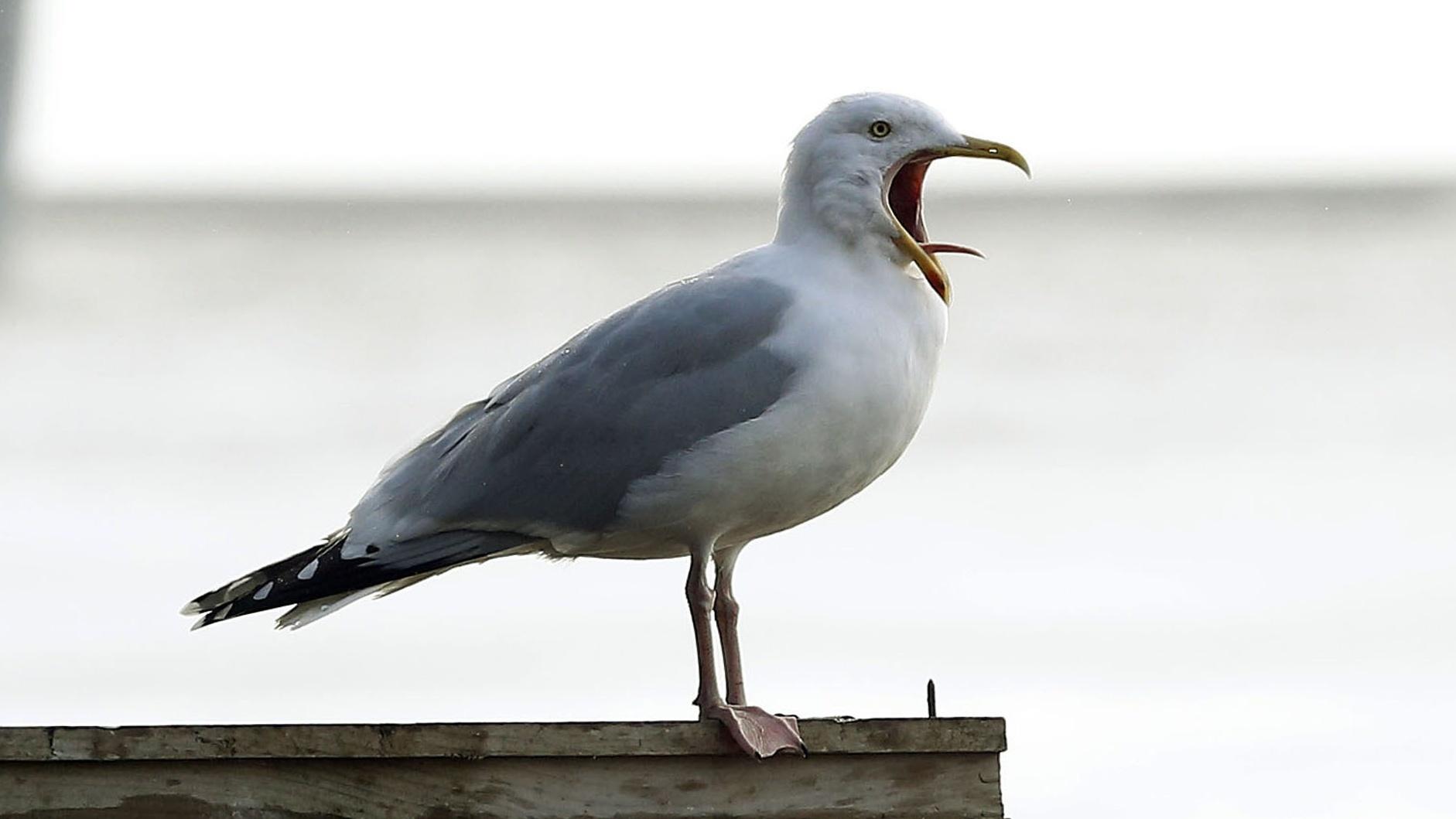 Seagull (PA)
