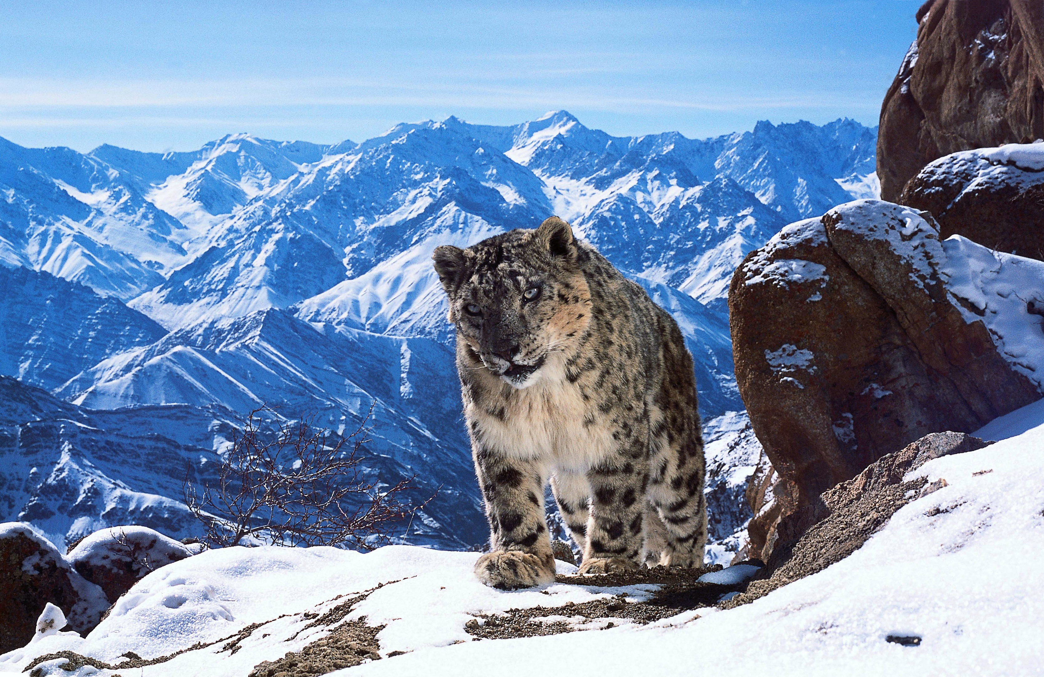 The last season of Planet Earth included some incredible footage of elusive snow leopards (BBC Planet Earth II, David Willis)