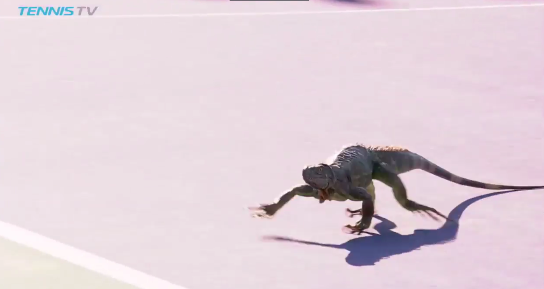 Iguana invades the court during the Miami Open (Tennis TV)