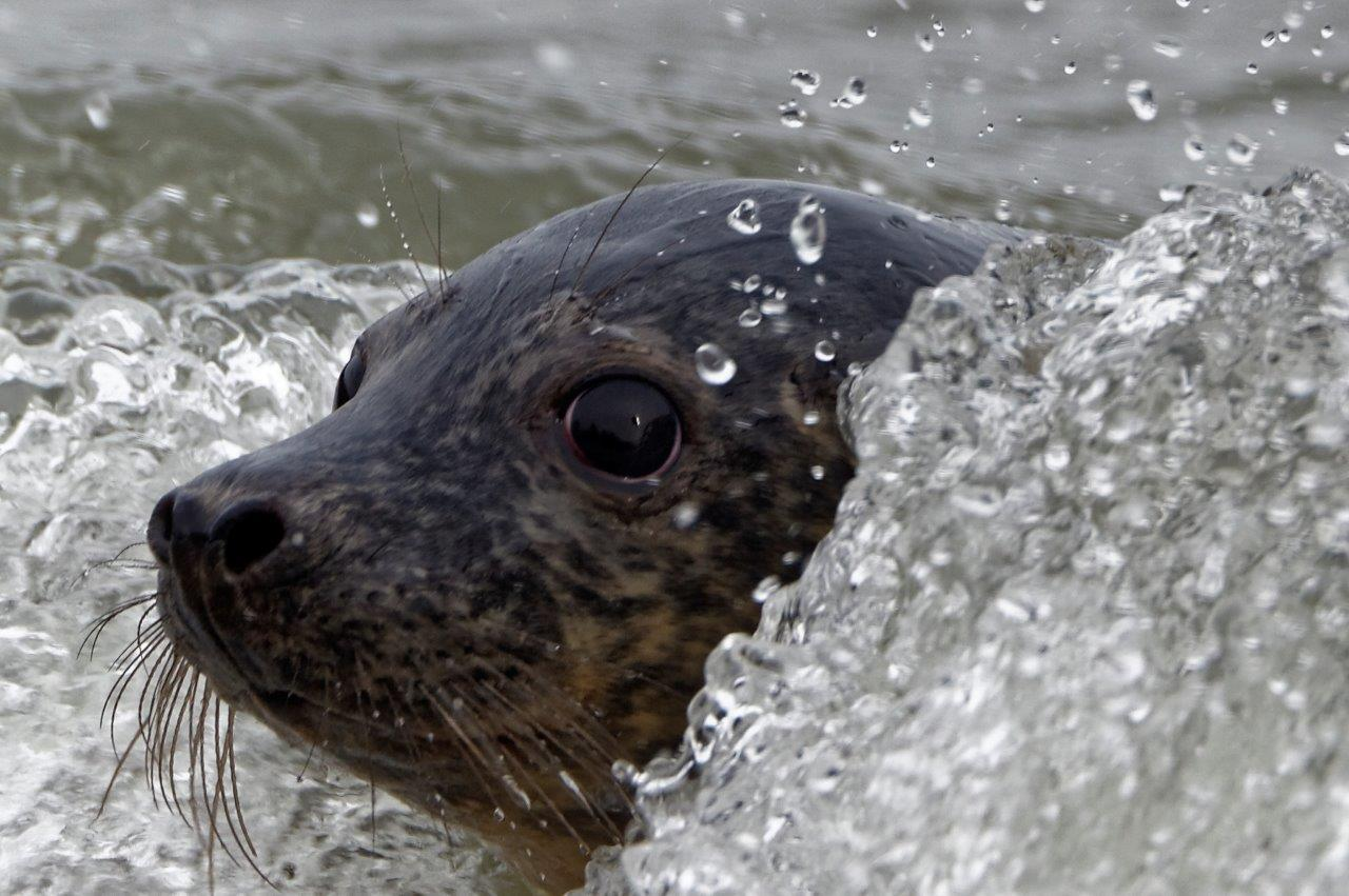 Osha the seal (Scottish SPCA)