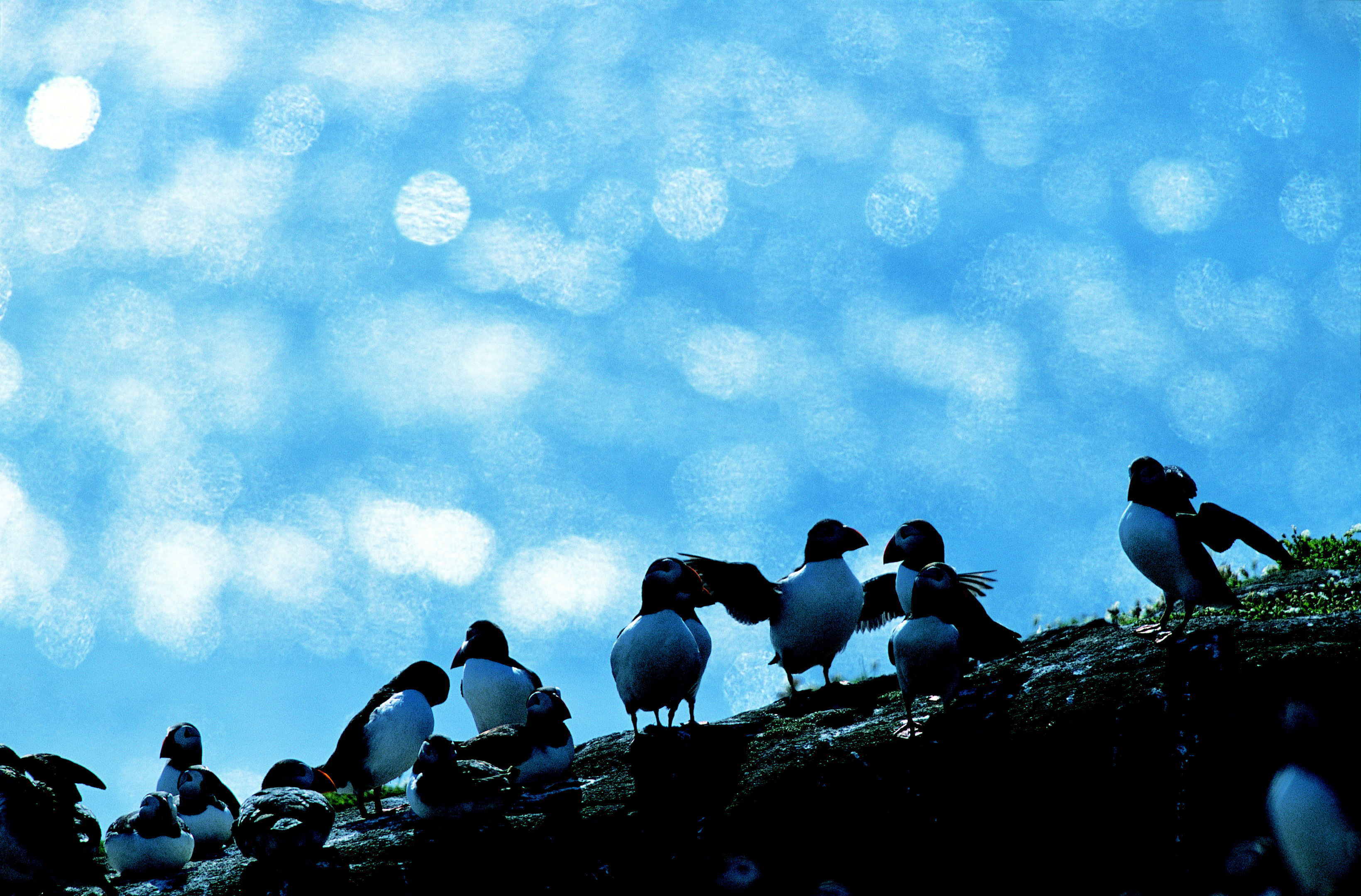 Puffin Fratercula arctica, group on Cliff, Isle of May, June (RSPB)