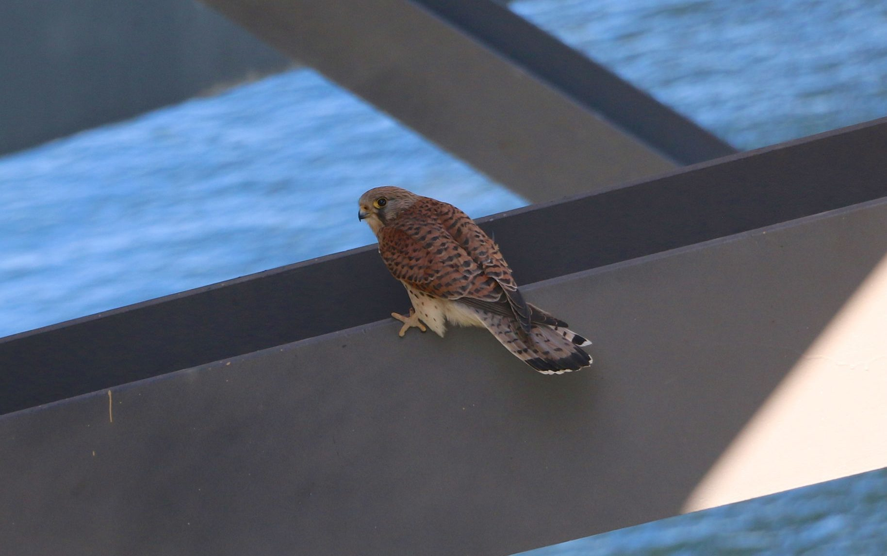 A kestrel nicknamed Mr Younger on the Forth Road Bridge, one of a pair that have made the bridge their home (Amey/PA Wire)