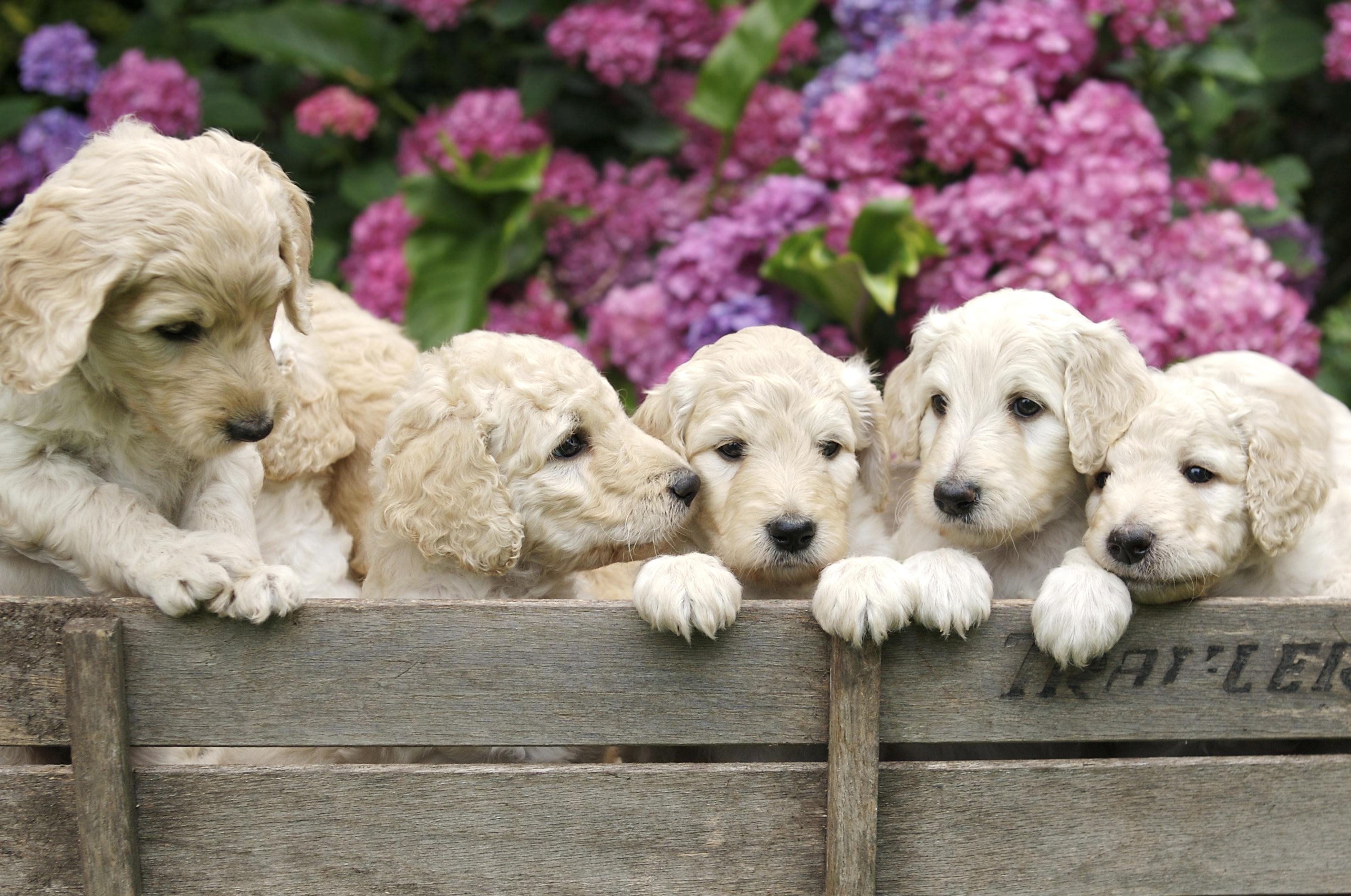 Golden Labradoodle puppies (iStock)