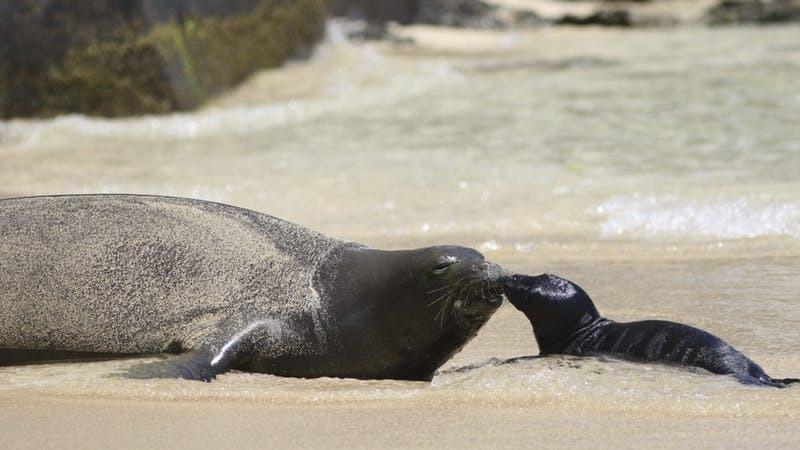 Mother and pup on Waikiki beach (Audrey McAvoy/AP)