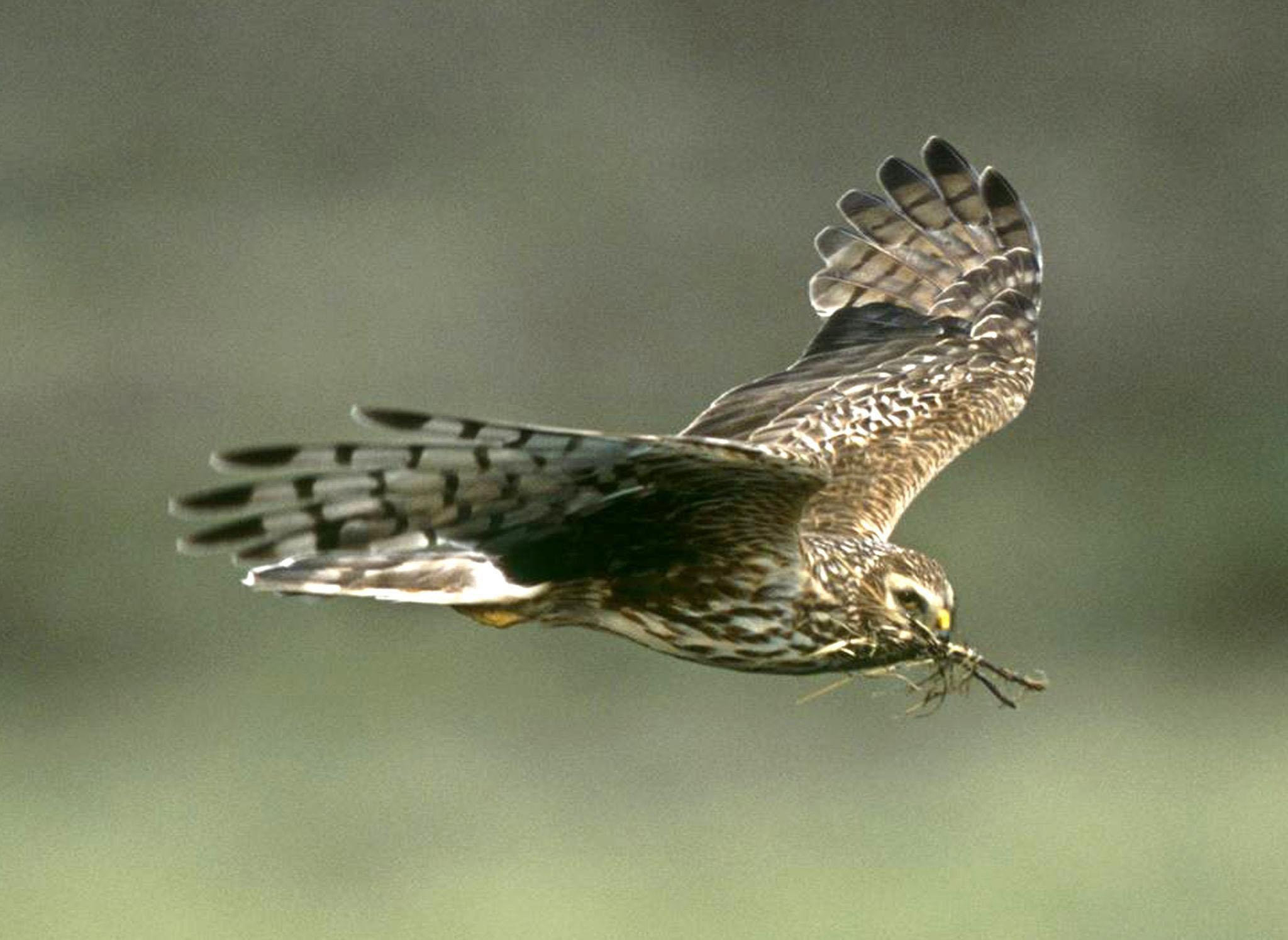 Hen harriers are on the brink of extinction in England after the number of breeding pairs fell to four last year, according to new figures. (RSPB Images/PA Wire)