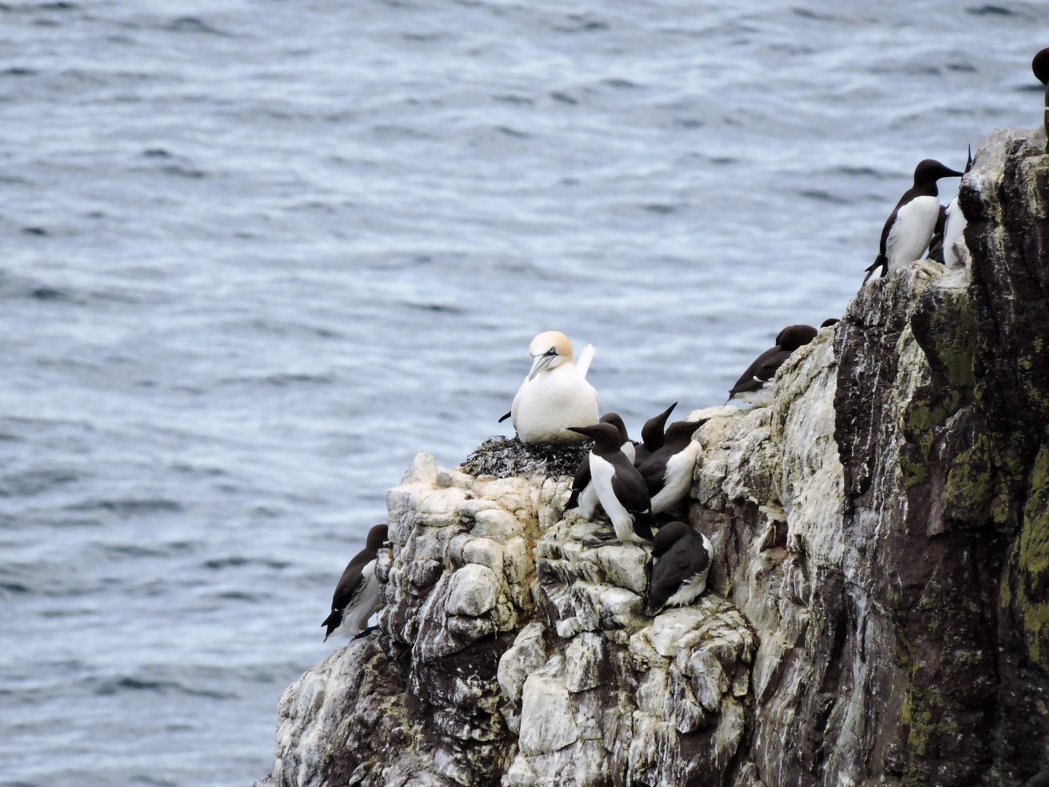 Gannet nest (Jack Laws)