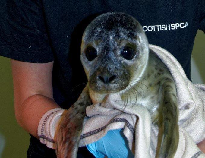 Flounder the harbour seal (Scottish SPCA)