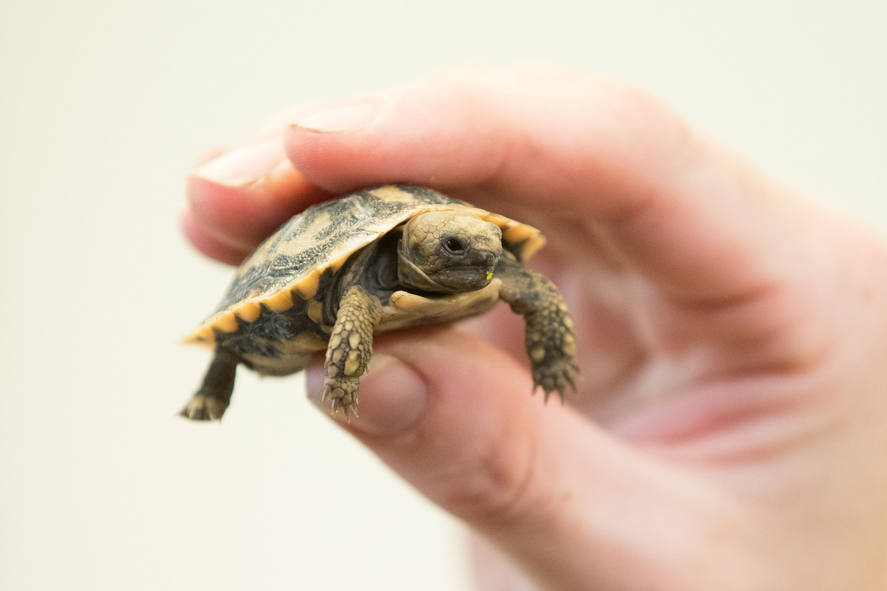 A keeper holds Fin, a new baby pancake tortoise at West Midland Safari Park in Bewdley, (Aaron Chown/PA Wire)