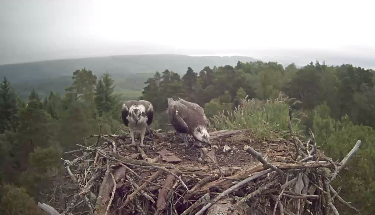 Osprey pair feeding chicks (RSPB)