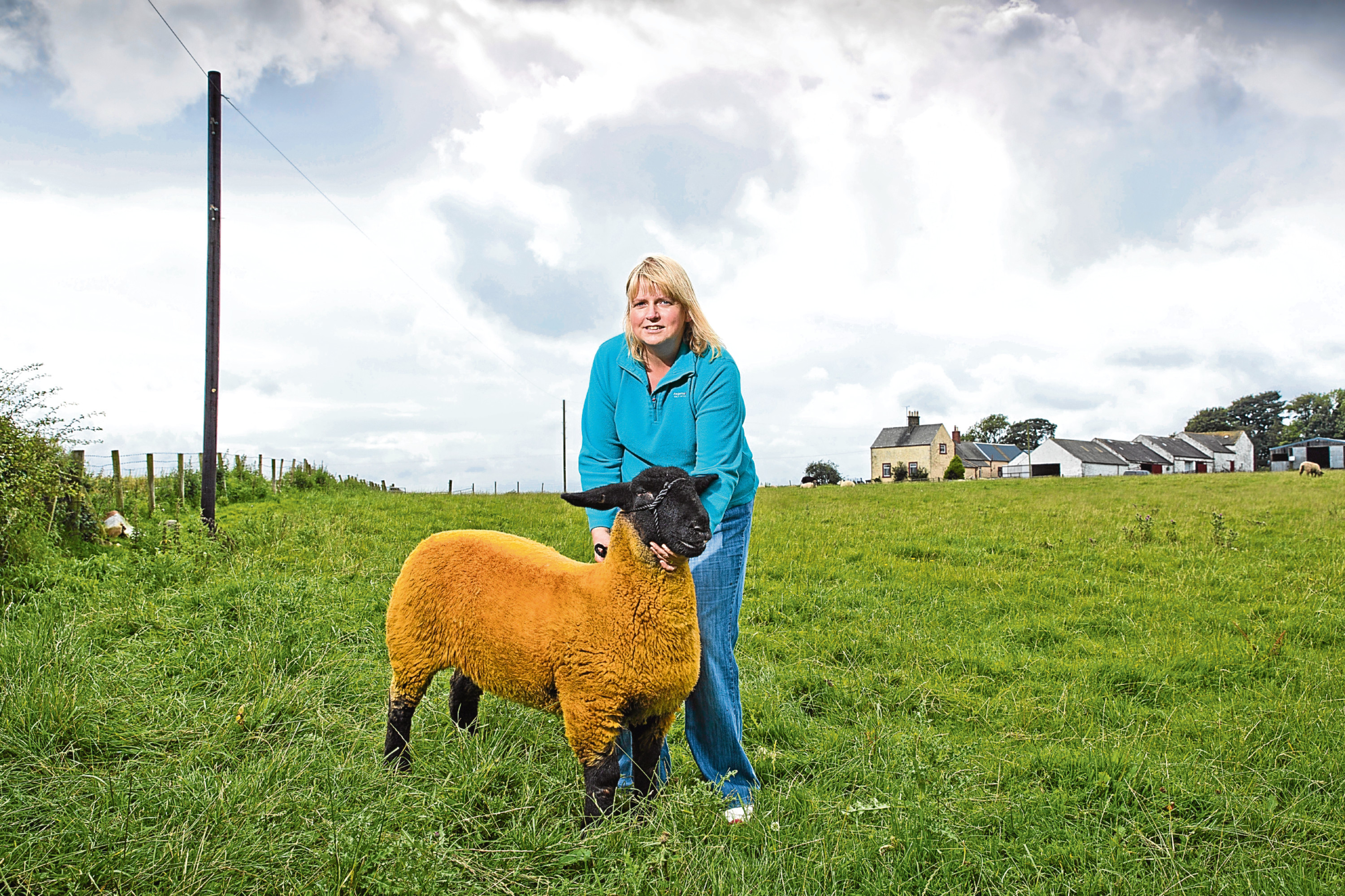 Paula Neil a Suffolk sheep breeder from Mouswalk Dumfries and Galloway had to fight with BT to get a telegraph pole erected after it lay for 7 months with the cable going across one of her fields causing a sheep to get tangled in the cable (Jamie Williamson)