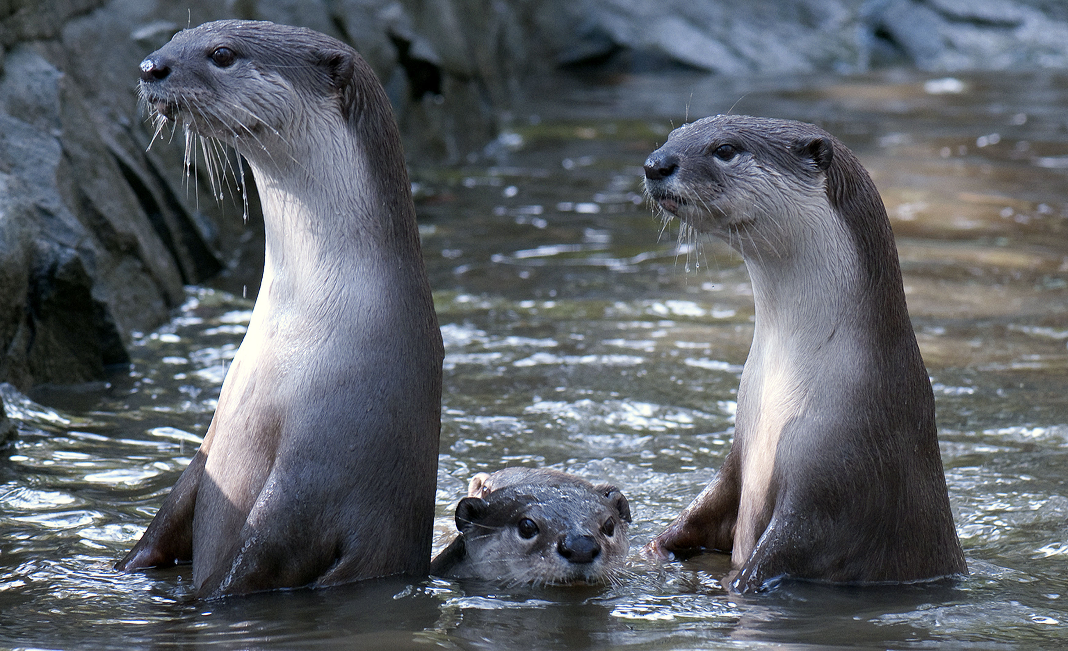 Young smooth-coated otters are quicker to master new technology than the older generation, scientists have found. (Dr Nicole Duplaix/PA Wire)