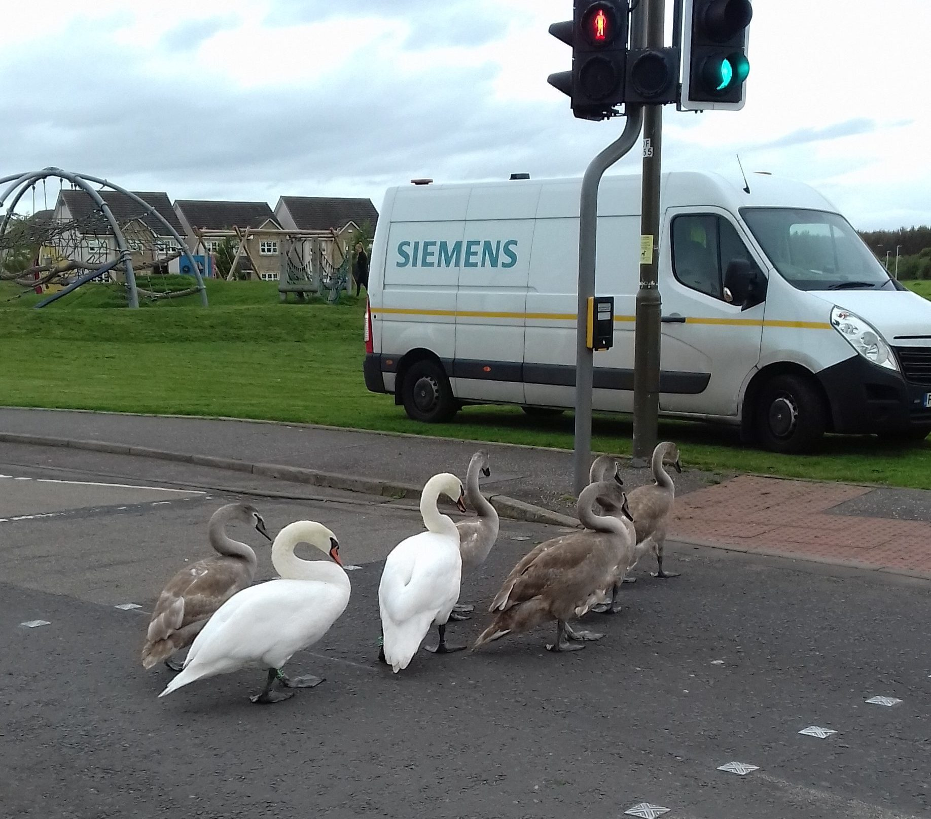 Swans (Scottish SPCA)