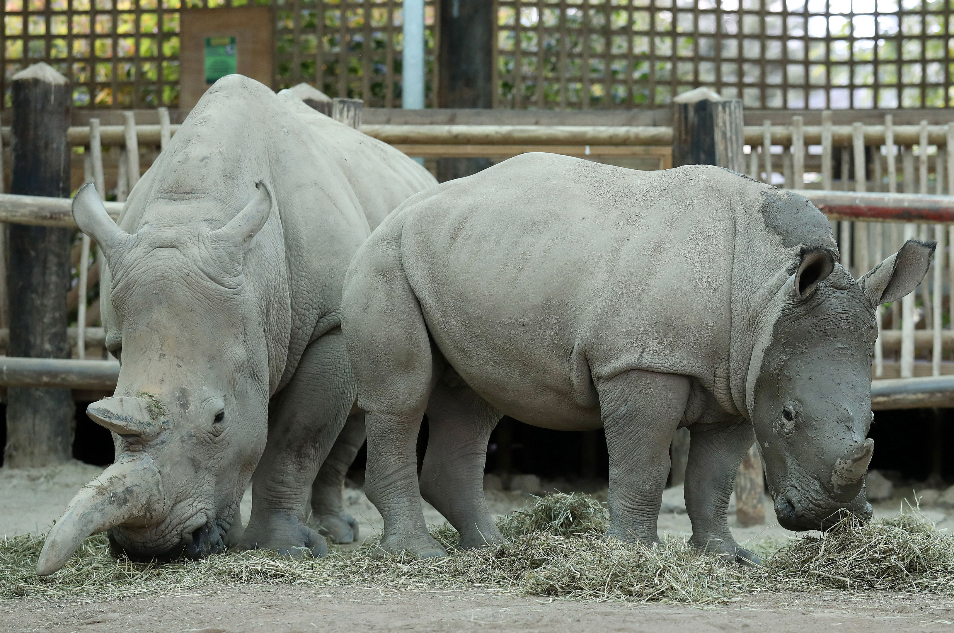 Bonnie, a baby White Rhino, enjoys a facial mudpack with her mum Dorothy in preparation for her first birthday party at Blair Drummond Safari Park. (Andrew Milligan/PA Wire)