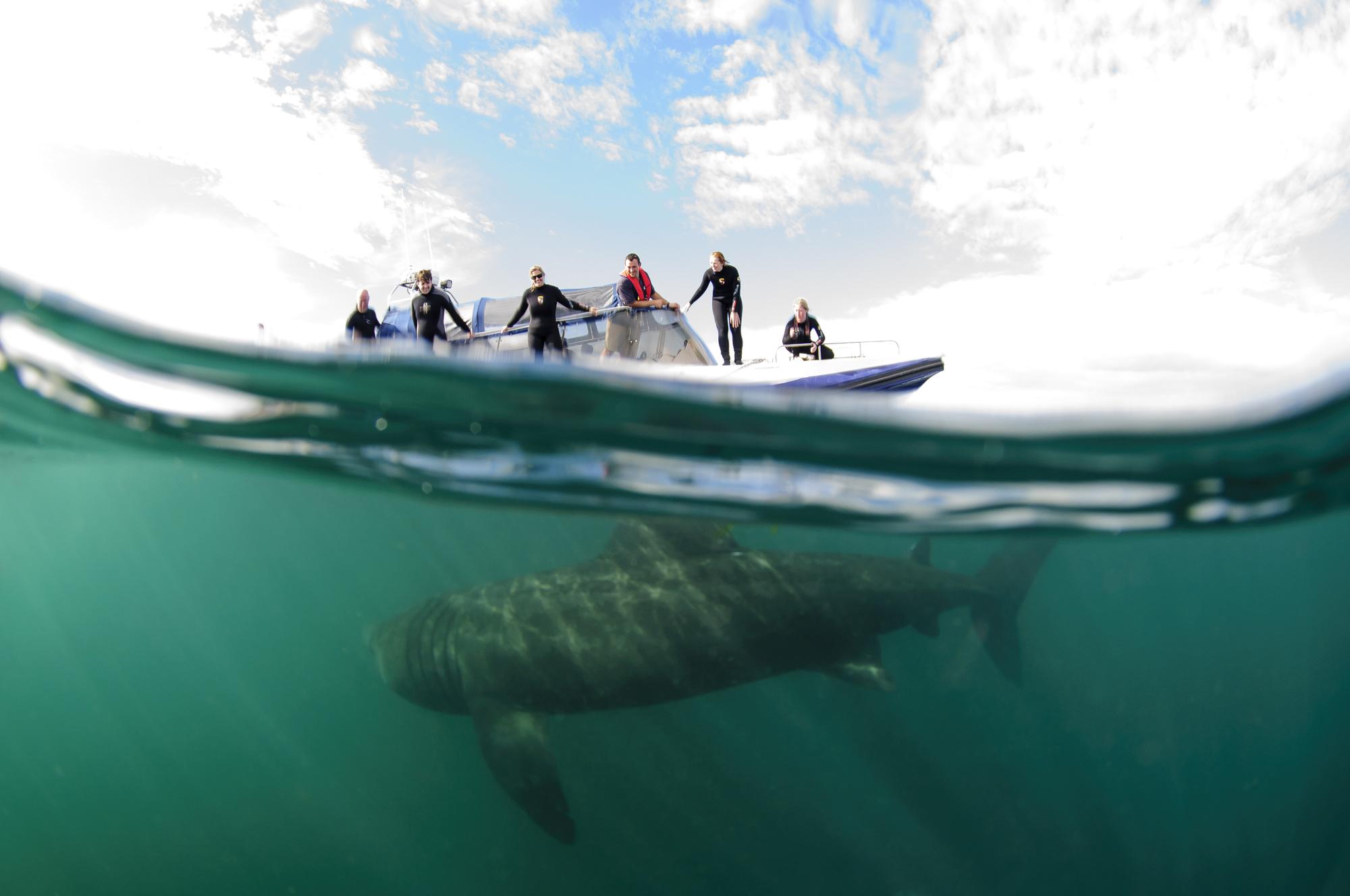 Basking Sharks (Natural Scotland)