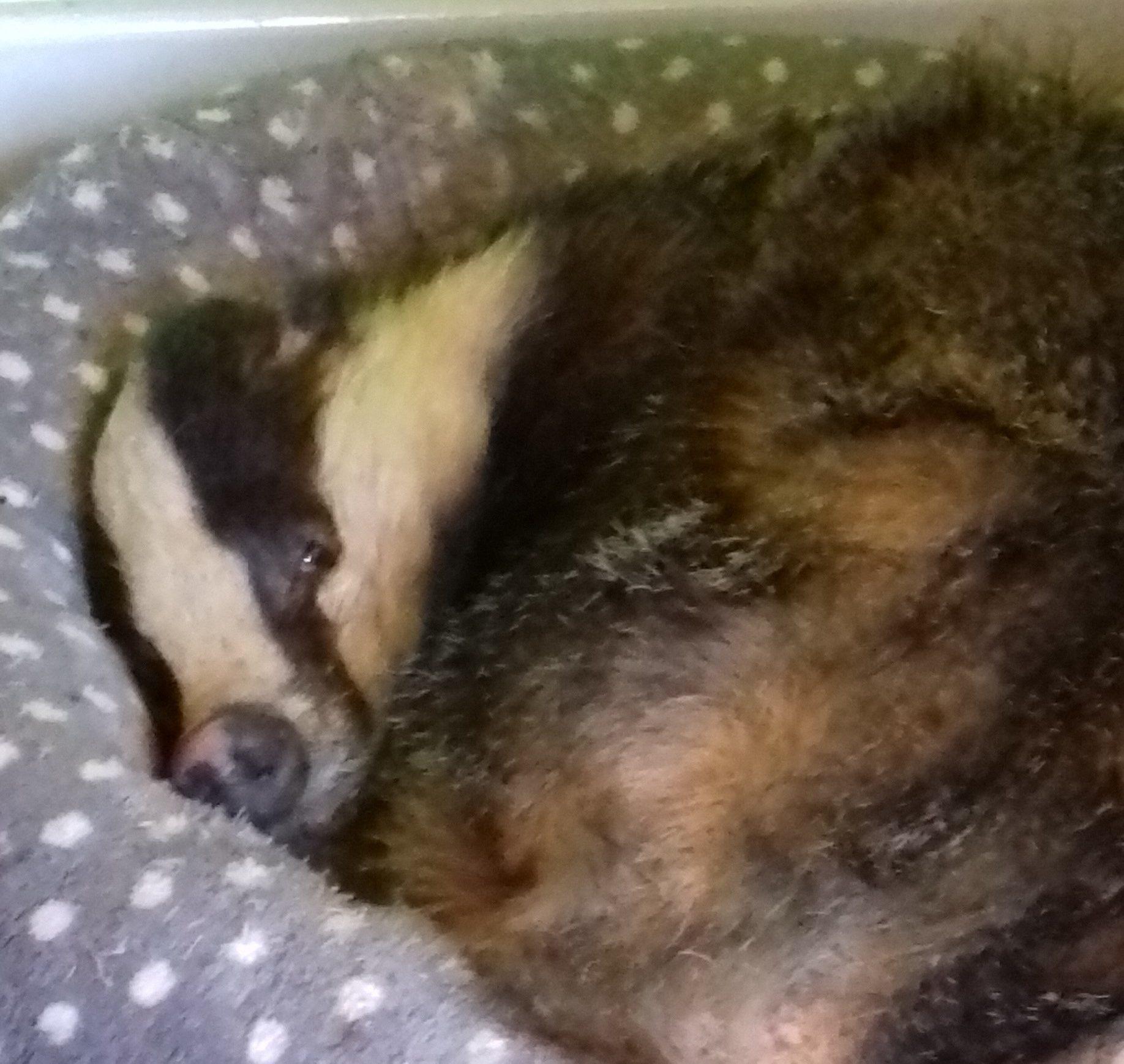 Badger (Scottish SPCA)